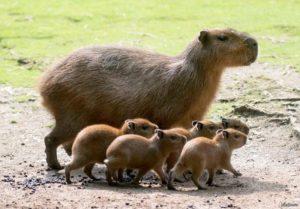 kapibara